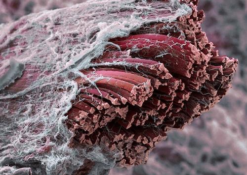 Живые мышцы